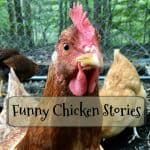 Funny Chicken Life Moment - Do You Dare to Share?