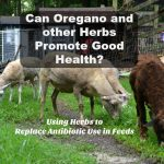 How Oregano Replaces Antibiotic Use in Livestock