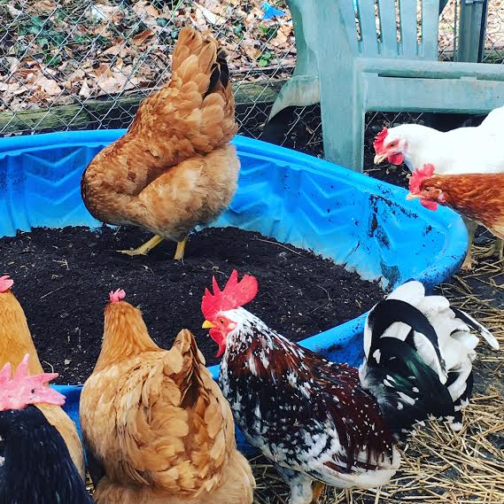 chicken dust bath