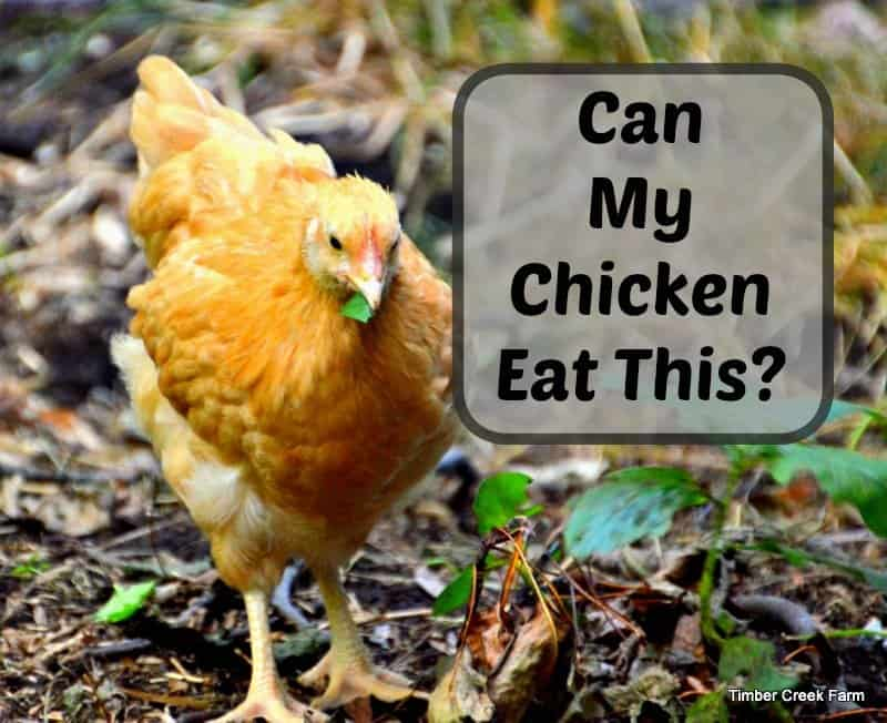 Can Chickens Eat Mashed Potatoes?