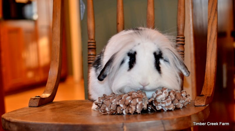 pine cone rabbit treats