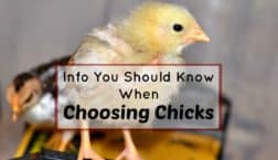 choose chicks