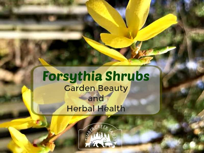 Forsythia Shrubs Give Beauty and Herbal Health