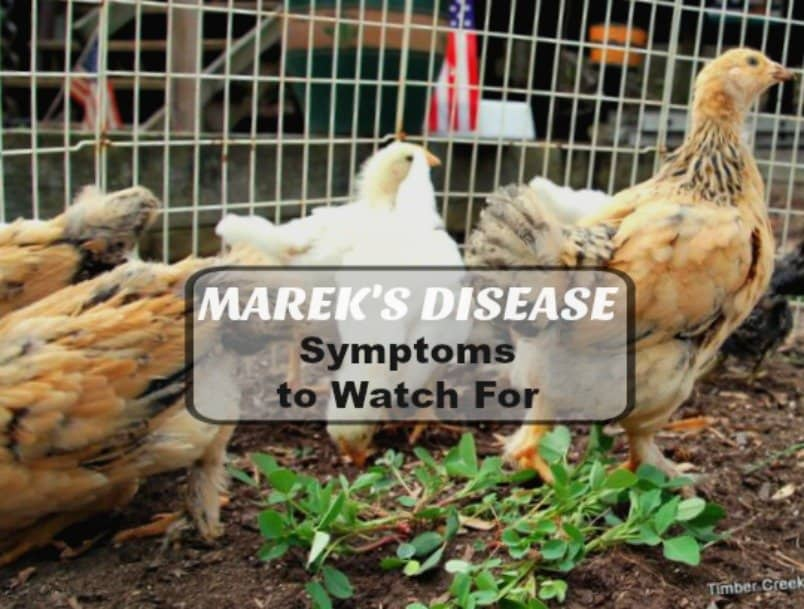 marek's disease symptoms