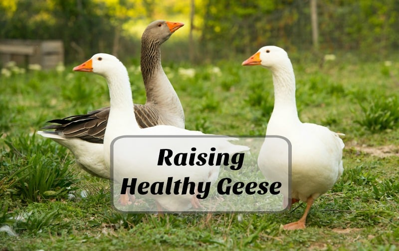 How to Raise Healthy Geese for the Backyard Farm