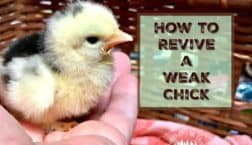 revive a weak chick