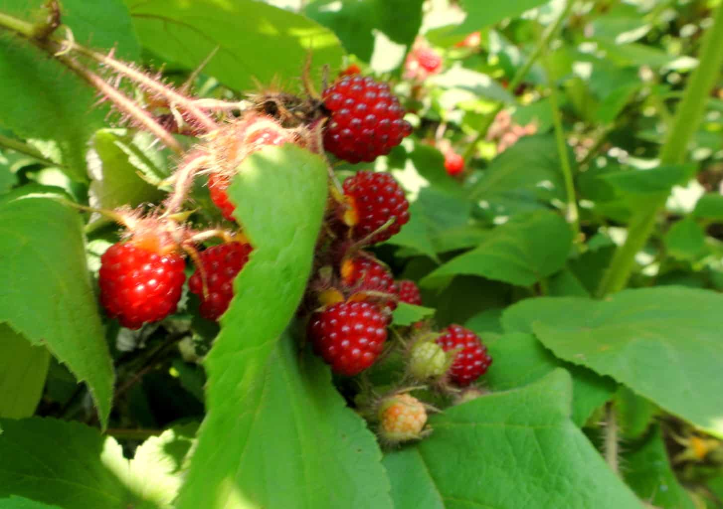 Diseases of raspberries and struggle with them. Raspberry Care 7
