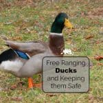 Free Range Ducks Pros and Cons