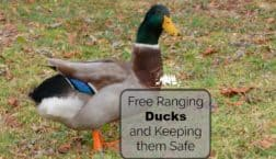 Free ranging ducks