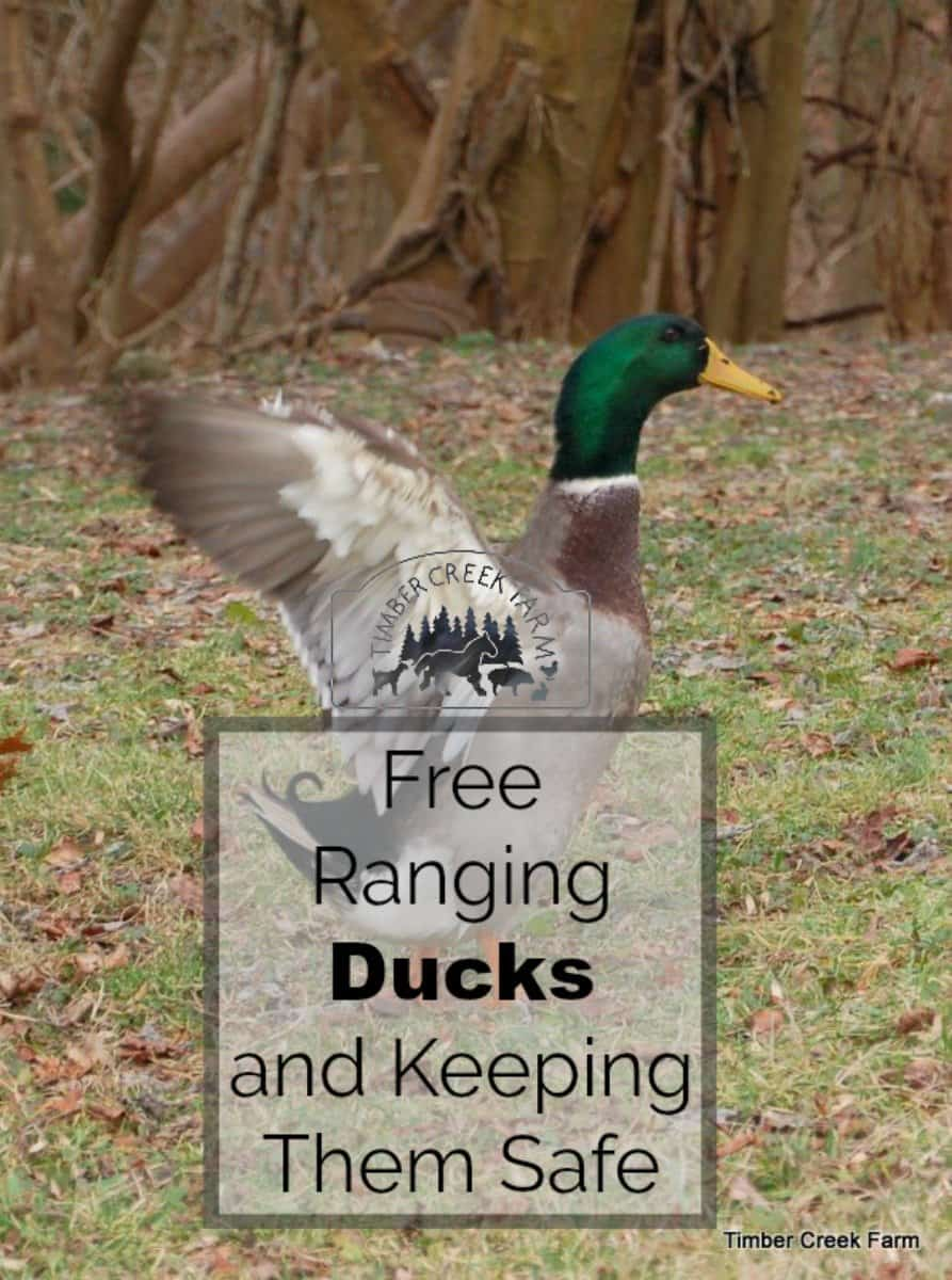 Free Range Ducks Pros and Cons - Timber Creek Farm