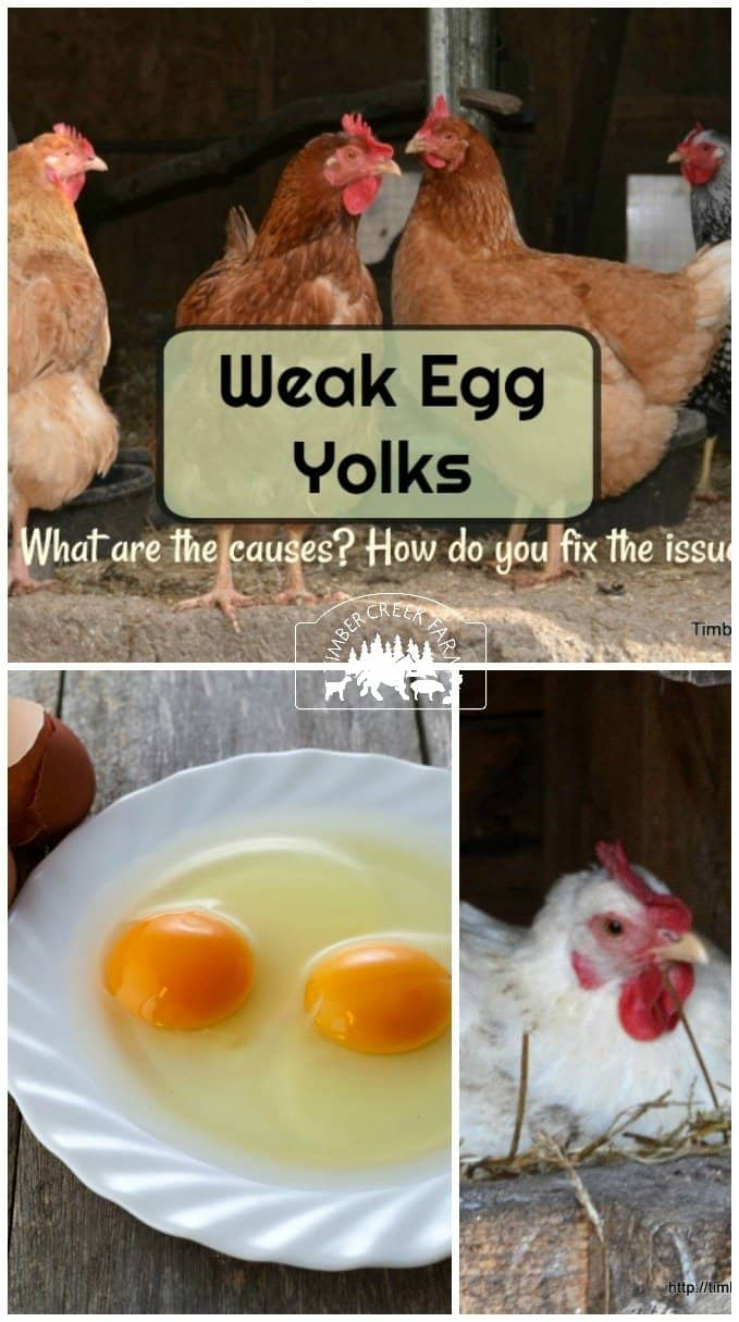 What Causes Weak Egg Yolk Membranes - Timber Creek Farm