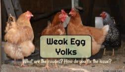 weak egg yolk