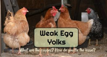 What Causes Weak Egg Yolk Membranes