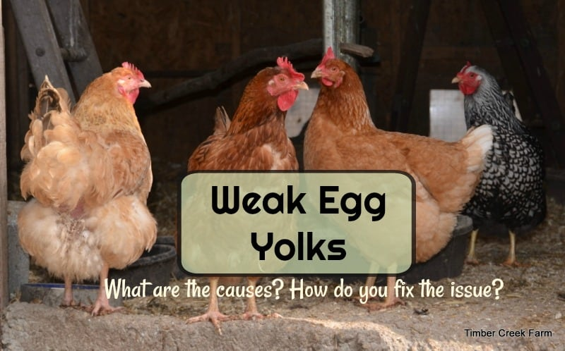 weak egg yolk