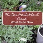 Winter Herb Plant Care What to do Now