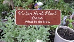 winter herb plant care