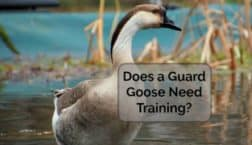 guard goose