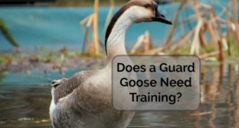 Does a Guard Goose Need Training? (Book Review and Giveaway!)