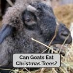 Can Goats Eat Christmas Trees?