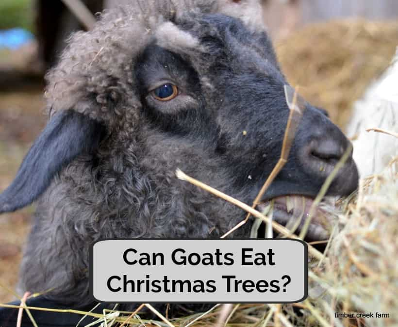 can goats eat christmas trees