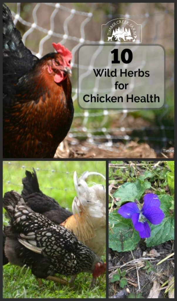wild herbs for chicken health
