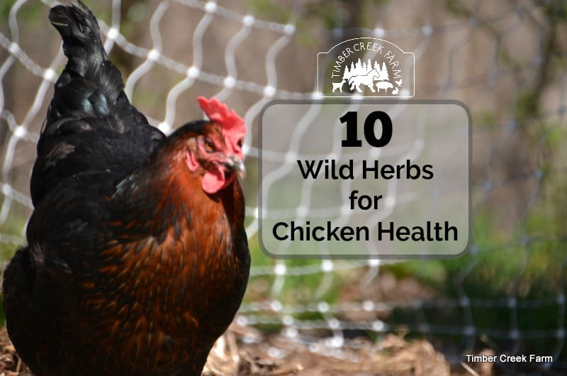 10 wild herbs for chicken health timber creek farm