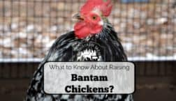 raise bantam chickens