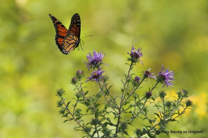 plants to add to the pollinator garden