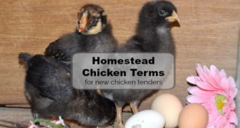 Homestead Chicken Terms – How to Speak Chicken