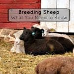 Breeding Sheep -What You Need to Know