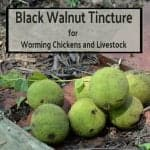 Black Walnut Tincture for Worming Chickens and Livestock