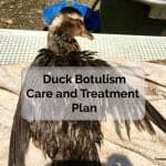 Duck Botulism Treatment - Recovering from Limberneck