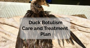 Duck Botulism Treatment – Recovering from Limberneck