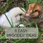 6 Easy Brooder Ideas to Start Chicks