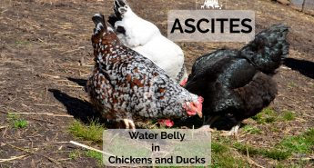 ascites in chickens and ducks