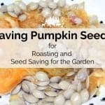 Saving Pumpkin Seeds in 5 Easy Steps