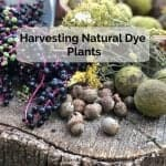 Harvesting Natural Dye Plants