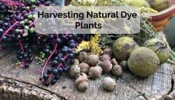 harvesting natural dye plants