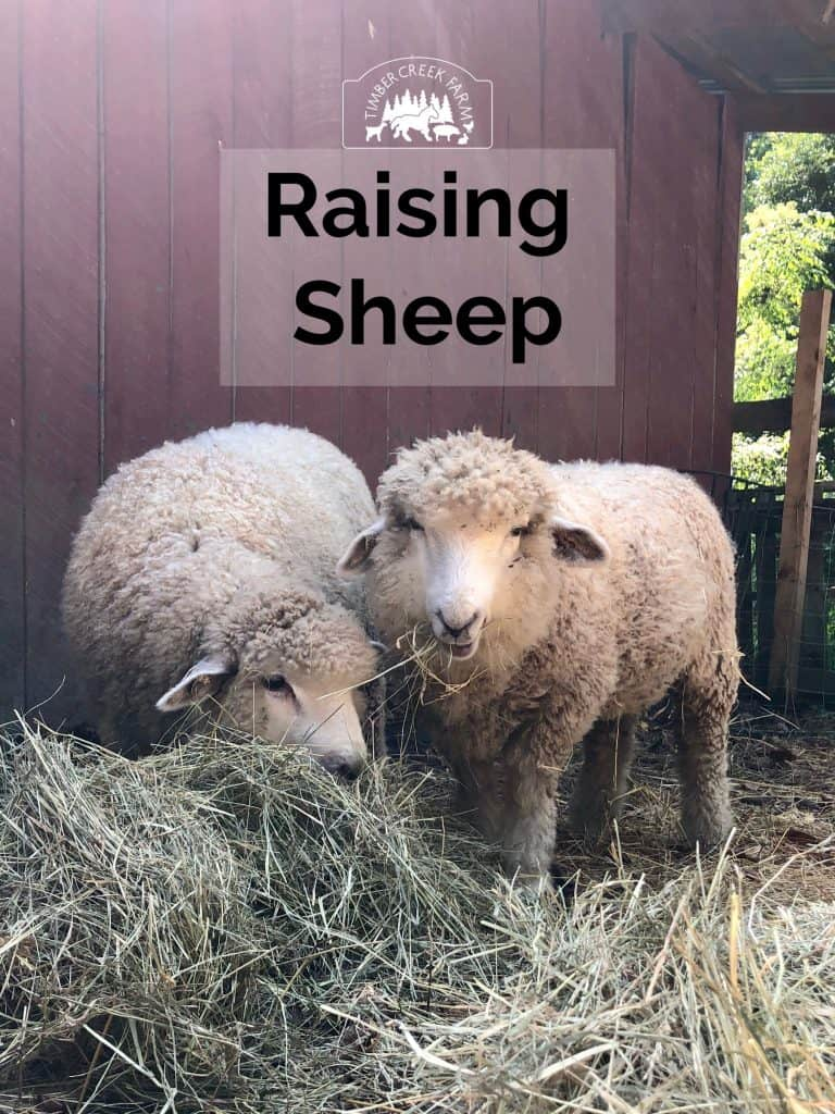 Raising Sheep Warms You Twice How keeping sheep brings more than the warmth of the wool