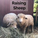 Raising Sheep Warms You Twice