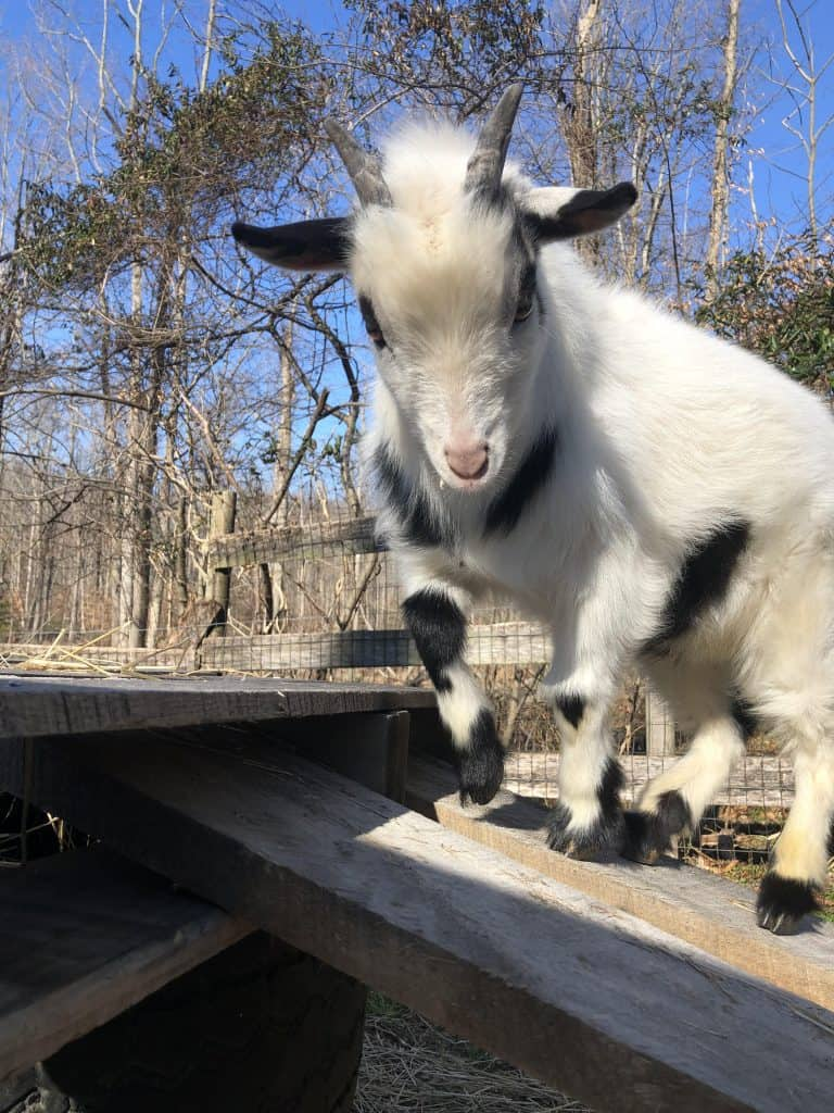 urinary stones in dwarf goat breeds