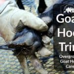 Overgrown Goat Hoof Care Steps to Take