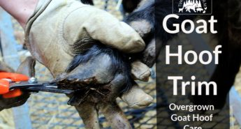 Overgrown goat hoof care