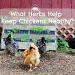 What Herbs Keep Chickens Healthy?