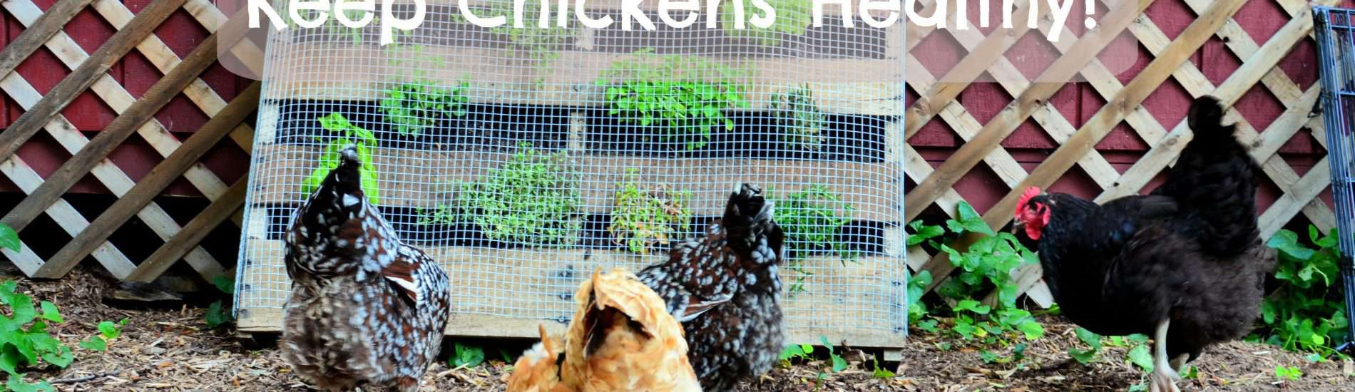 what herbs keep chickens healthy