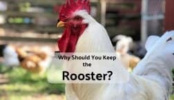 why keep the rooster