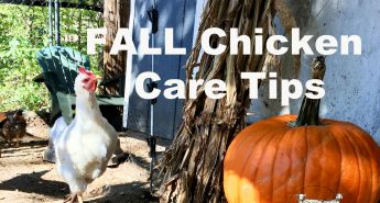 fall chicken care tips